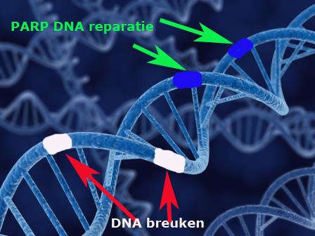 DNA repair PARP