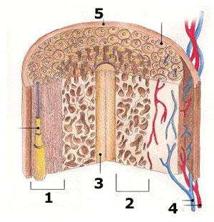 botstructuur