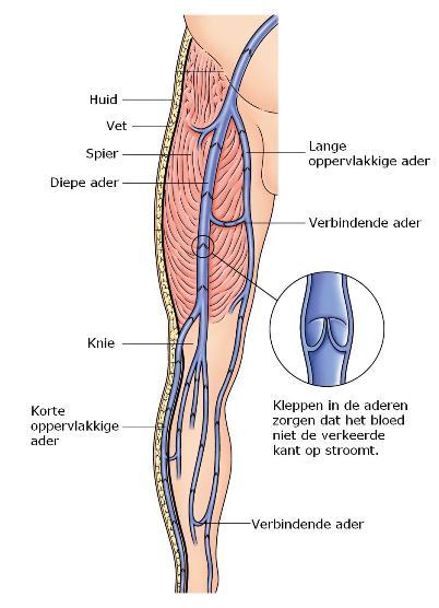 spataders_anatomie